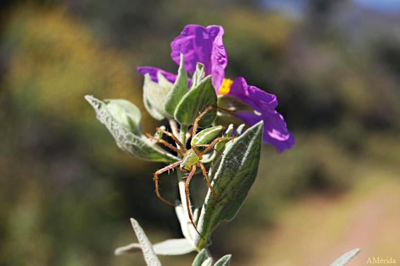 araña verde, Peucetia viridis