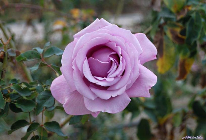 rosa Scotsman (Escocés)