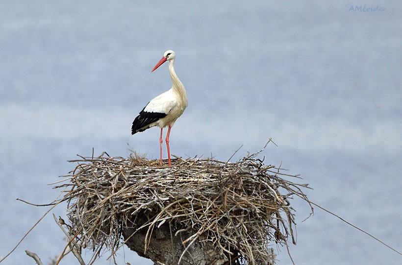 nido de cigüeña