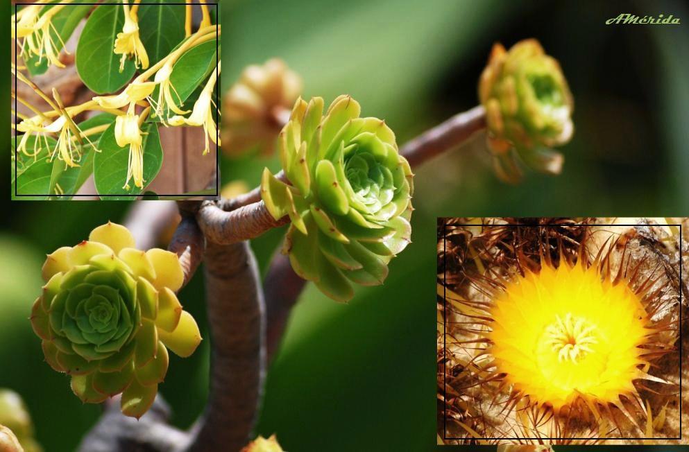 Planta del aire aeonium arboreum y cactus de barril - Madreselva planta ...