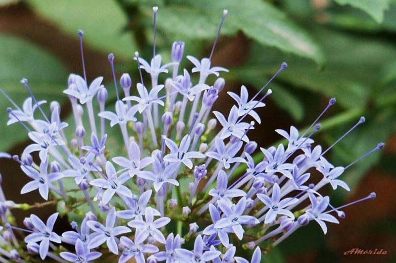 flor de la viuda, alfileres, Trachelium caeruleum)