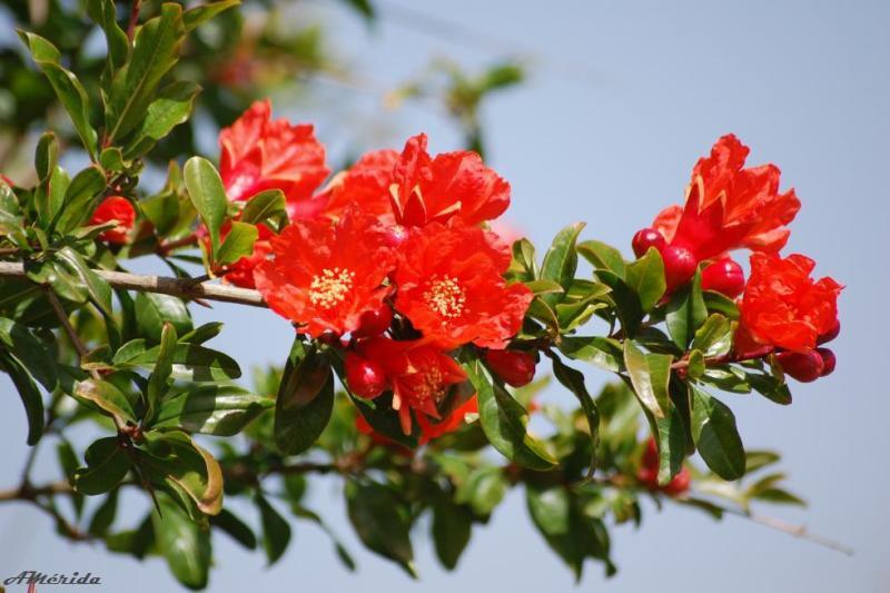 flor de granado