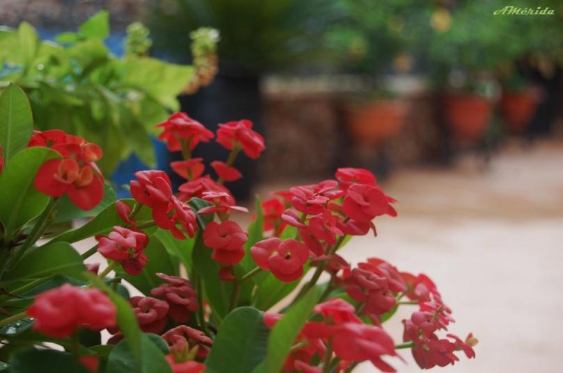 Corona de espinas (euphorbia splendens)