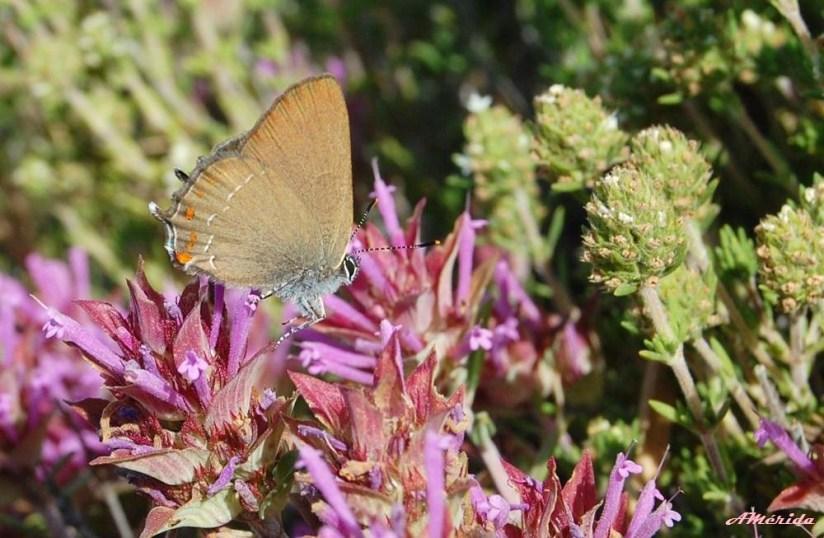 mariposa mancha azul (Satyrium spini) sobre tomillo real