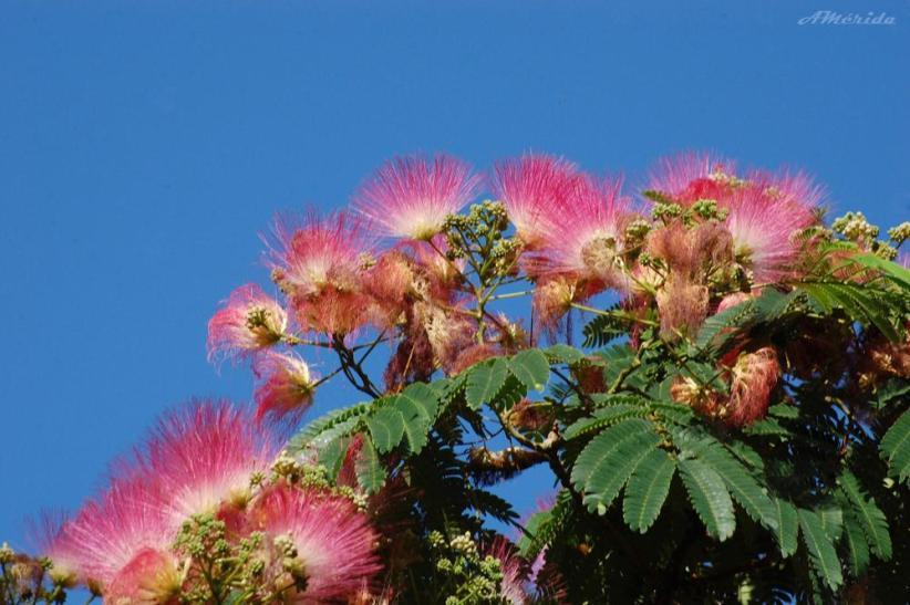 Acacia de persia (Albizia julibrissin)