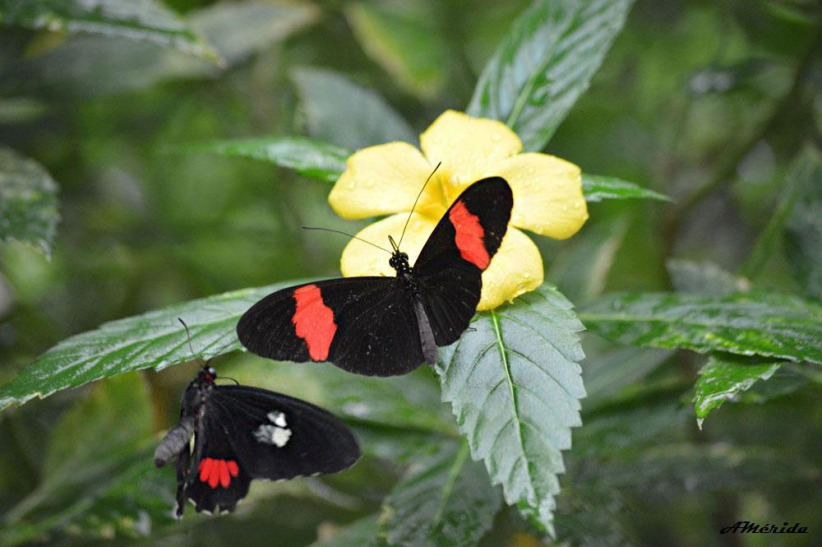 Heliconius melpomene, mariposa roja de imitador de cartero