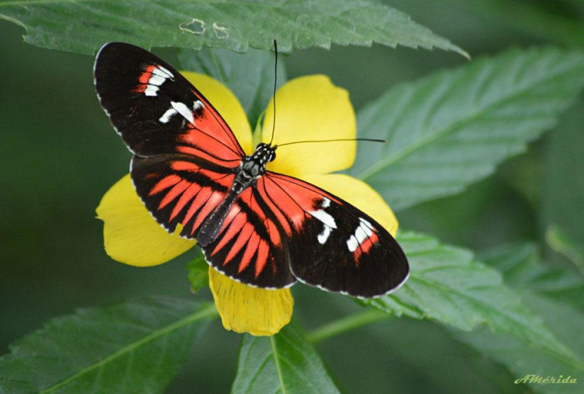 Mariposas heliconius, 蝴蝶