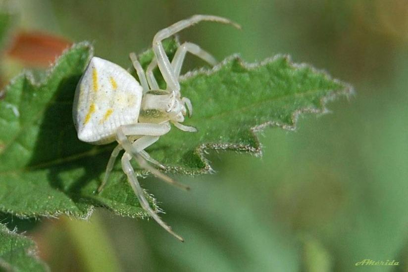 Araña cangrejo, Makrofotografie