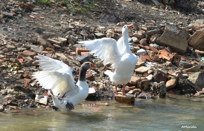 gansos blancos