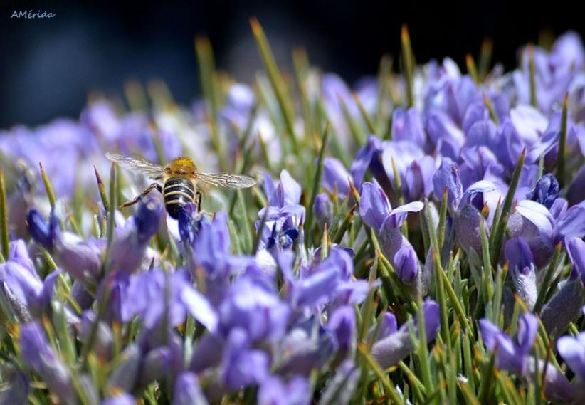 abeja sobre piorno azul
