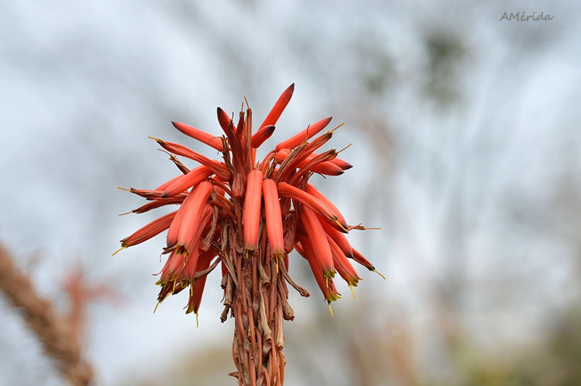 Aloe manchado (Aloe greatheadii), flor roja, flor de aloe