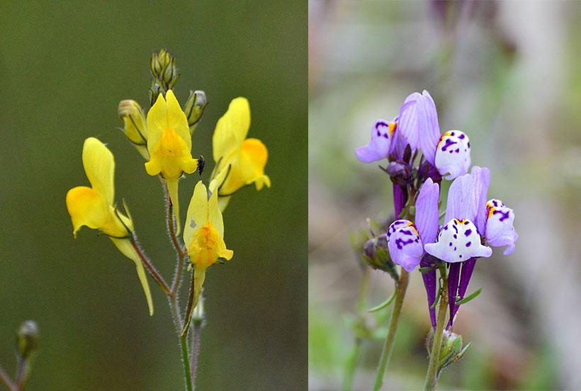 baleo montesino (Linaria spartea), Conejitos punteados, Gallitos, Embudos (Linaria amatista)