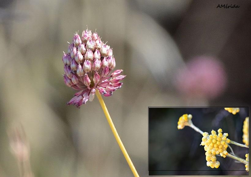 Ajo silvestre (Allium roseum) y siempreviva olorosa (Helichrysum italicum)